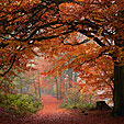 Autumn Walk, Beech