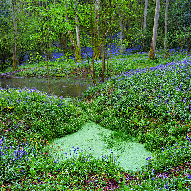 Bluebells Pond, Staffhurst Wood, Surrey, UK (Woodland Trust) Hyacinthoides non-scriptus