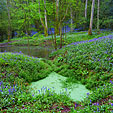 Bluebells Pond