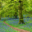 Bluebells Walk