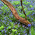 Bluebells Ferns